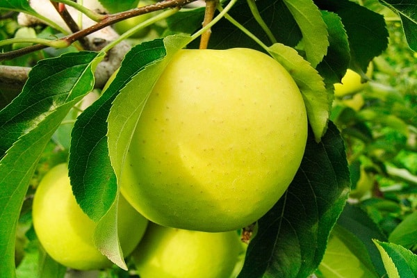 недостатки яблонь