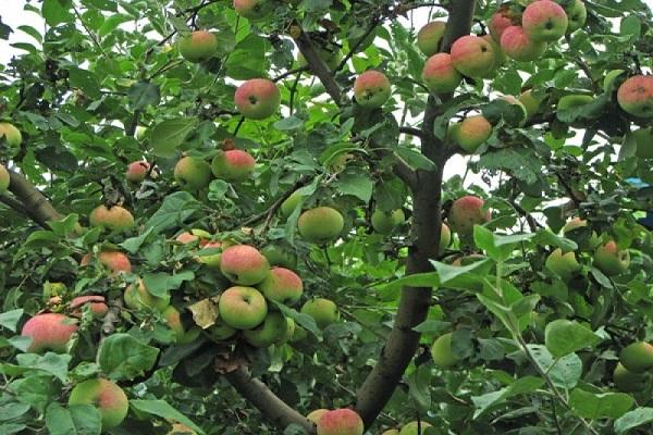 приносит плоды