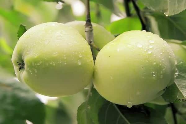 Оценка плодов