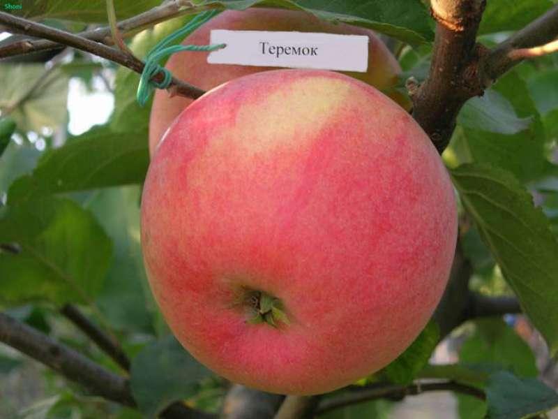 яблоня теремок
