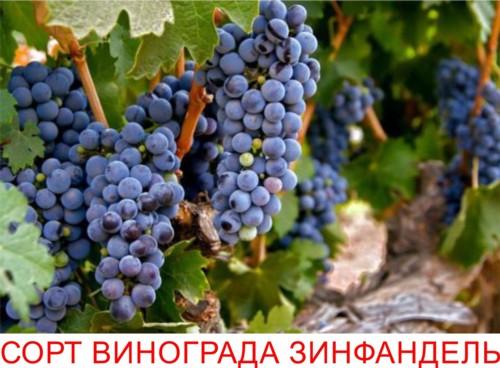Сорт винограда Зинфандель