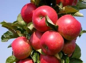 сорт яблони элита
