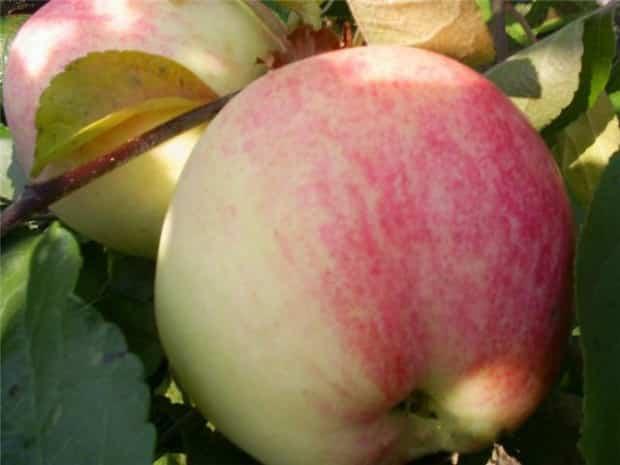яблоня избранница