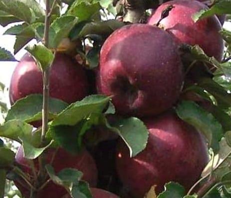 яблоко Кубанское_багряное