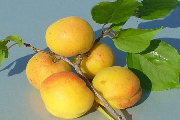 абрикосов кичигинский