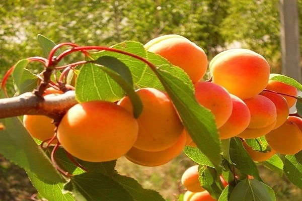 абрикос олимп