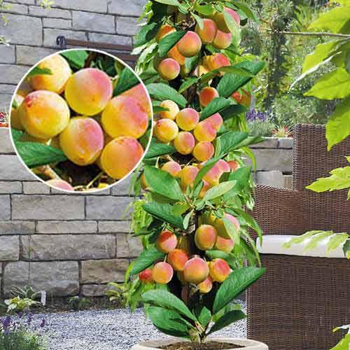 колонновидный абрикос