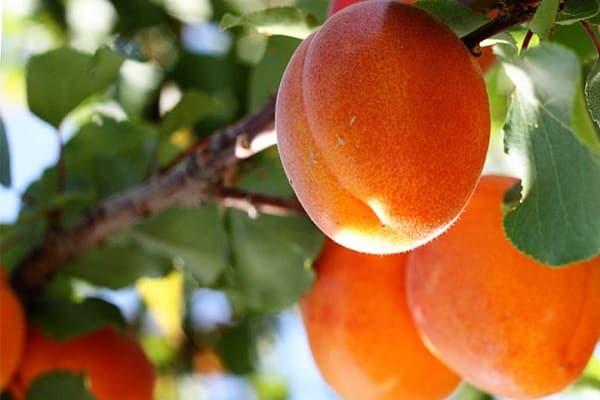 описание абрикоса