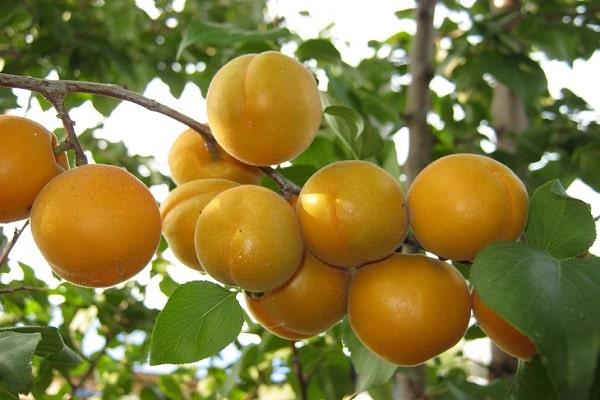 лакомиться абрикосами