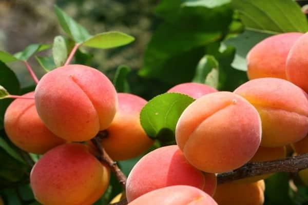 описание абрикосов