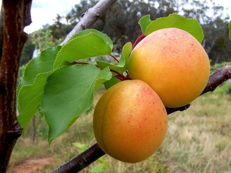 абрикос алеша