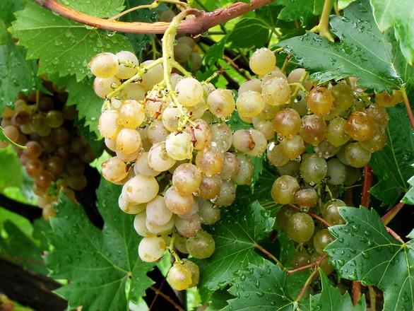 капли на винограде