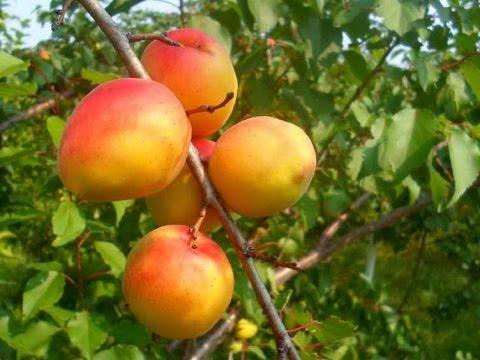 помидоры по царски