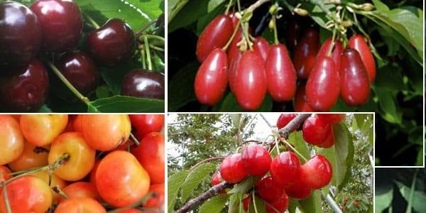 разные сорта вишни