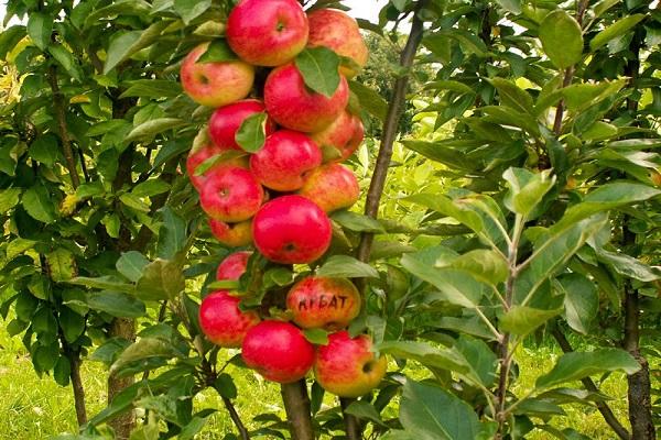 колоновидным яблоням