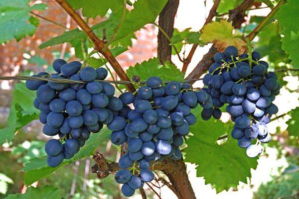 виноград на ветках