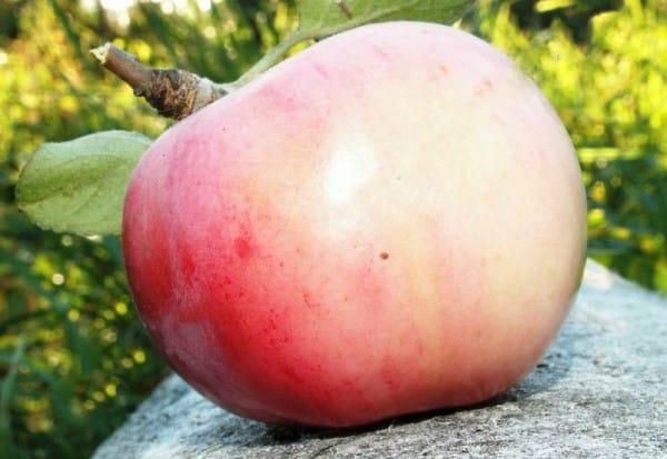 яблоко орловский пионер