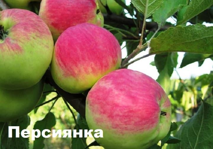 яблоня персиянка