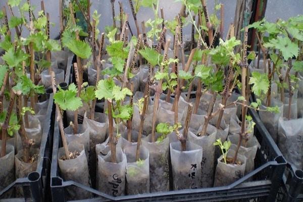 проращивание черенков