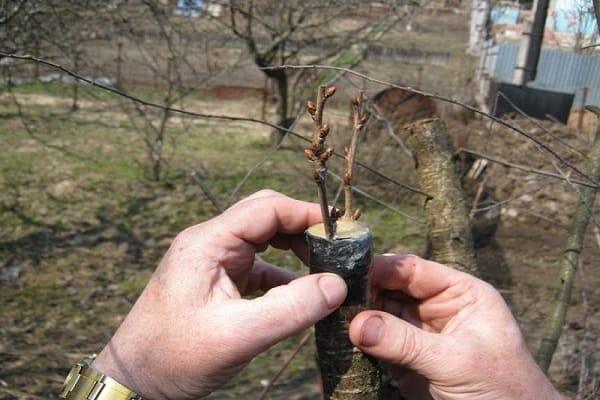 размножения вишни