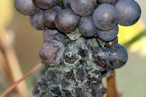 обработать виноград