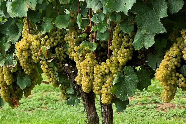 шардоне виноград