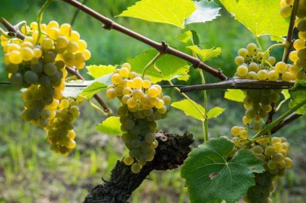 Солярис виноград