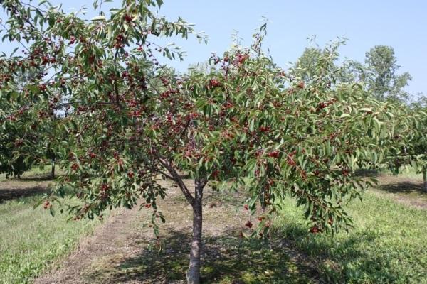 зрелое дерево