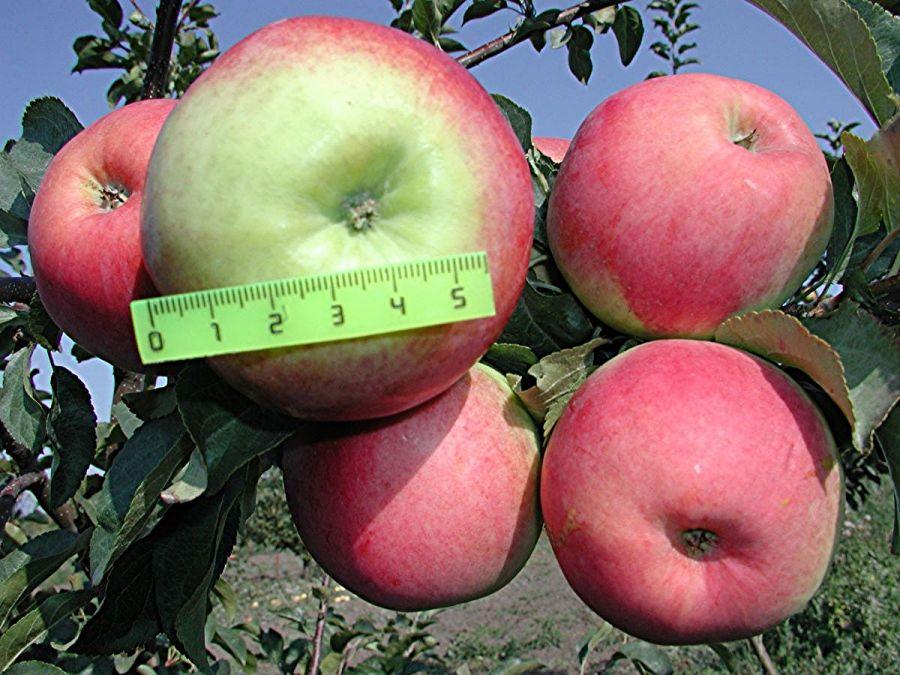 яблоки прима