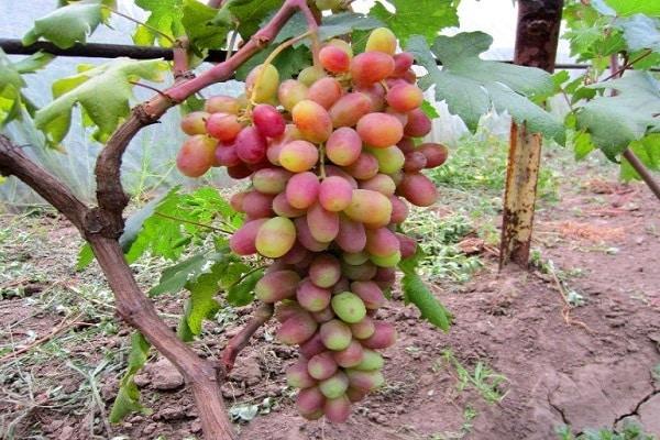 красивая гроздь