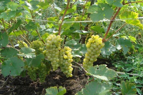 сорт винограда