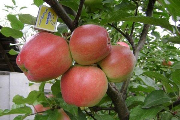 характеристики яблони