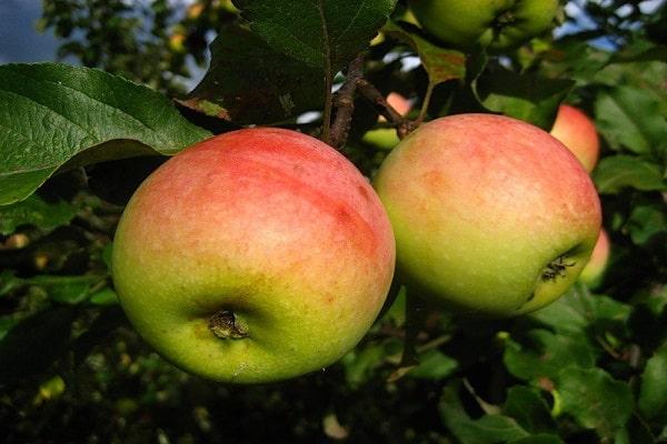 яблони Победа