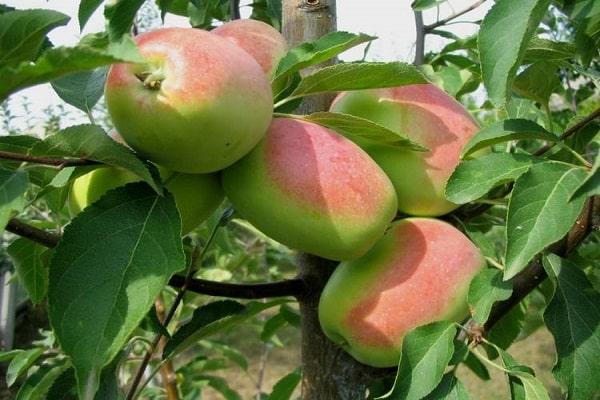 яблоня розмарин