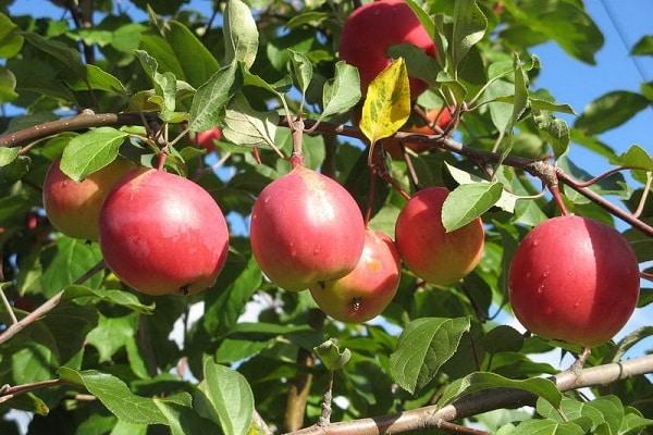 зимним яблокам