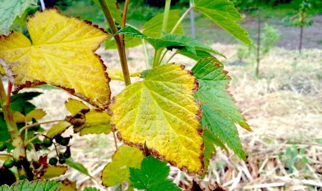 желтые листья винограда