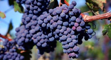 виноград карменер
