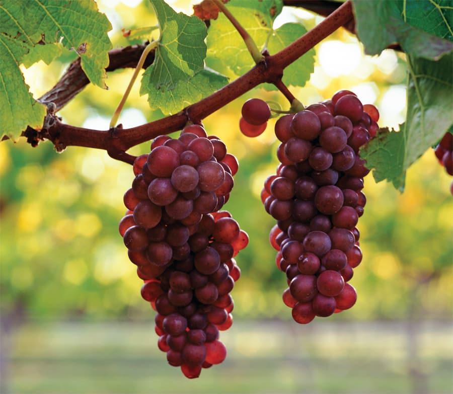виноград пино гриджио