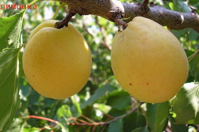 абрикос лимонка