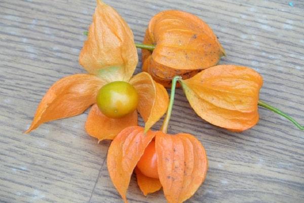 Посадка и выращивание физалиса в открытом грунте, описание сортов и уход за растением