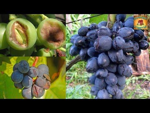 потресканный виноград