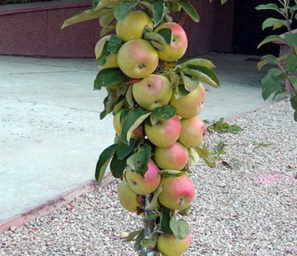 колоновидная яблоня президент
