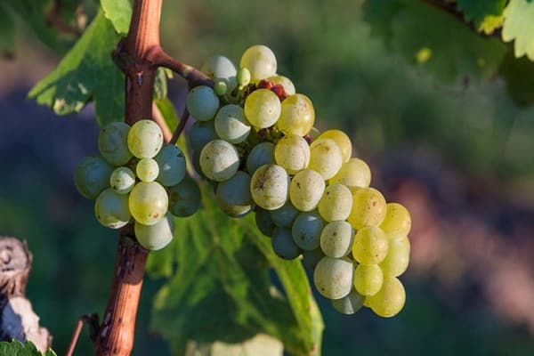 видов винограда