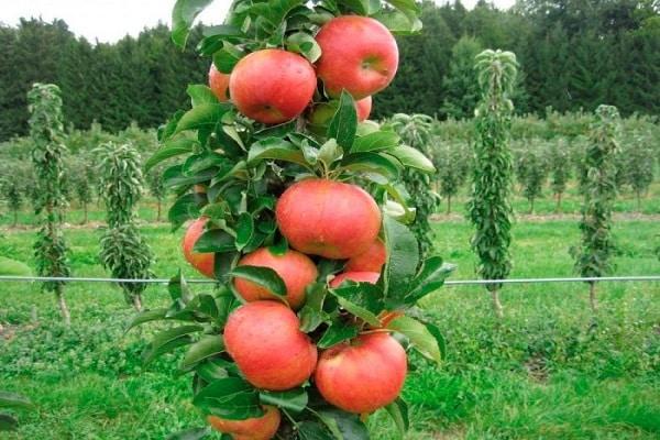 характеристика яблонь
