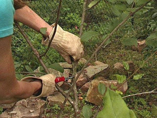 процесс обрезки вишни