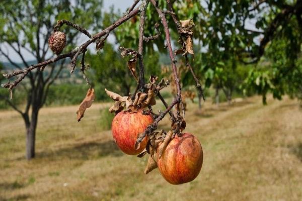 плодоносные деревья