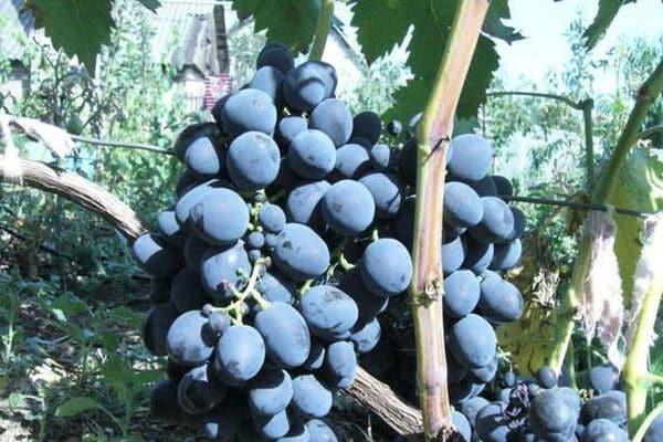 виноград уход