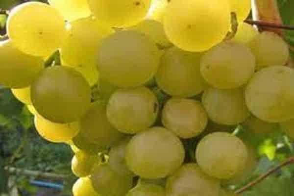 виноград галбена