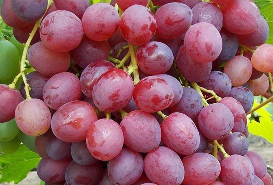 виноград кишмиш велес описание сорта фото аверсе изображен малый