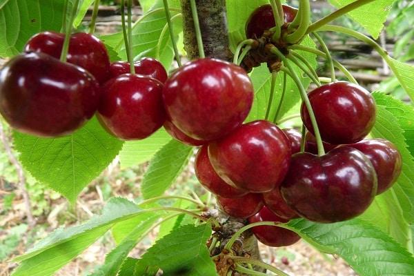 бурые ягодки